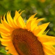 Stock Photo: Sunflower close-up against field