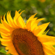 Sunflower close-up against field — Stock Photo