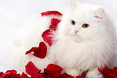 White thoroughbred cat — Stock Photo