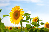 Sunward Sunflower — Stock Photo