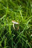 Wedding rings on a grass — Stock Photo