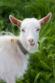 Portrait of a goat — Stock Photo