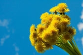 Blossoming dandelions — Stock Photo
