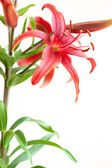 Stargazer Lily isolated — Stock Photo