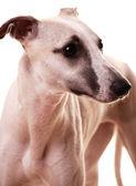 Isolated greyhound — Stock Photo