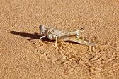 Side-profile of a locust in desert sand — Stock Photo