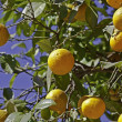 Ripe oranges on tree — Stockfoto