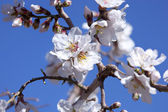White buds on a branch against blue sky — Stock Photo