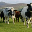 ������, ������: A gang of cows