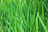 Background image of tall grass — Stock Photo
