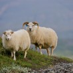 Iceland sheep — Stock Photo