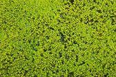 Iceland moss — Stock Photo