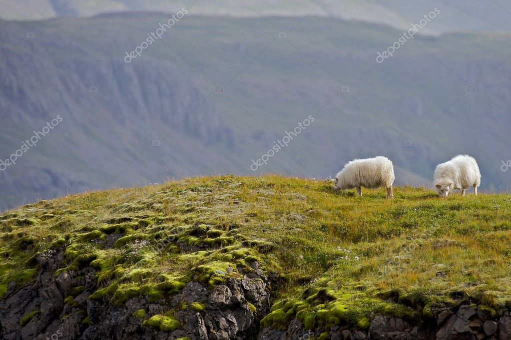 Icelandic sheep graze in the wilds of Austurland, the east. There are about 750,000 sheep in Iceland. — Stock Photo #2511831