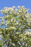 Robinia akacjowa drzewo — Zdjęcie stockowe