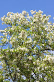 акация дерево — Стоковое фото