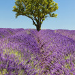 Stockfoto: Lavender field