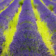 Lavender field — Foto Stock
