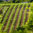 Vineyard in Czech Republic — Stock Photo #2655189