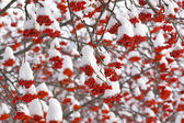 Rowan in Snow — Stock Photo