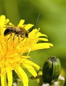 Long-Horned Bee — Stock Photo