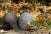 Siberian Red Squirrel — Stock Photo