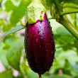 Aubergine on vegetable garden — Stock Photo #2541869