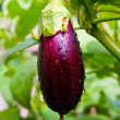 Aubergine on vegetable garden - Stock Photo