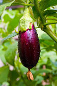 Aubergine on vegetable garden — Foto Stock