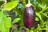 Fresh aubergine with water drops — Stock Photo