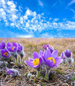 Pasqueflowers — Stock fotografie