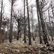 Dead forest after fire — Stock Photo