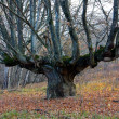Old oak tree on forest — Stock Photo #2623815
