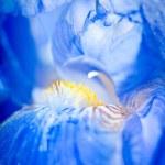 Iris macro — Stock Photo #2469885