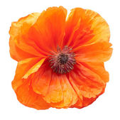 Poppy — Stock Photo