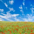Stock Photo: Blooming poppy meadow
