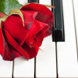 Red rose lies on the piano — Stock Photo