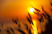 Wheat on a great summer sunset — Stock Photo