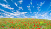 Blooming poppy meadow — Stock Photo