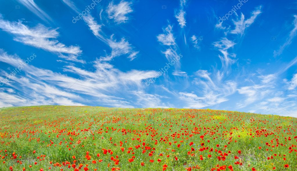 Blooming poppy meadow, the sky with fleecy clouds over it  — Stock Photo #2470038