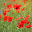 Poppy field in Crimea — Stock Photo #2567536