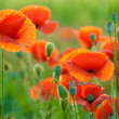 Poppy field in Crimea - Stock Photo