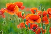 Poppy field in Crimea — Stock Photo