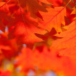 Red oak leaves close-up. — Stock Photo