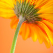 Gerbera — Stock Photo #2577335