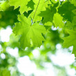 Fresh green maple leaves — Stock Photo