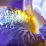 Iris macro — Stock Photo #2606630