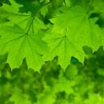Fresh green maple leaves — Stock Photo