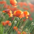 Stock Photo: Poppy field in Crimea