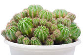 Cactus bush in a flowerpot — Stock Photo