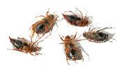 Cinco besouros mortos deitado de cabeça para baixo — Foto Stock